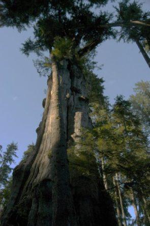 quinault-big-cedar-082112-01